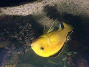 Malawisee - Barsch gelb