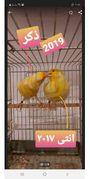 Pärchen Kanarienvögel - Wiesbaden Schierstein - KanarienvogelerwachsenDer Männlich ist Harzer Roler er singt sehr gut ,er ist aus 2019 mit DKB Ring geschlossen.die weibchen aus 2017 mit DKB Ring geschlossen.das Verkauf ist ohne Käfig .männlich & weiblich, als Pärchen abzugeb - Wiesbaden Schierstein