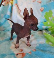 Xolo Chihuahua
