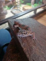 2 leopardgeckos Weibchen