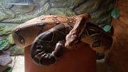 Boa Constrictor Constrictor weiblich Stöckl
