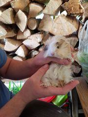 Meerschweinchen-Bock männlich 5 Wochen alt