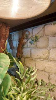 2 2 Goldgeckos