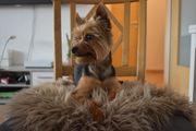 Yorkshire Terrier DECKRÜDE Dark Steel