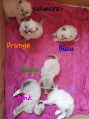 Ragdoll kitten schA ne farben