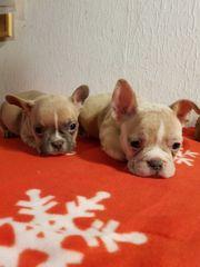 Französische Mini Bulldoggen suchen ein