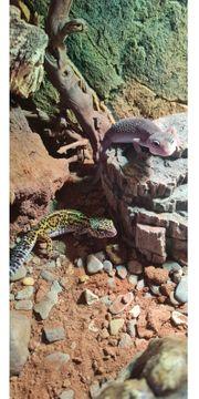 Leopardgeckos 2021 Nachzuchten