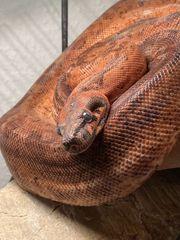 Boa constrictor Imperator besonders hübsche
