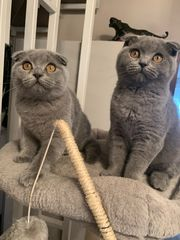Britische Kurzhaar Kitten BKH Scottish