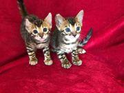 zwei wunderschöne Bengal Kitten