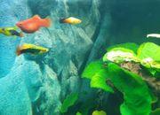 Junge Korallen-Platy tiefrot ca 40-Stck
