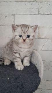 Reinrassige BKH Schottisch Straight Kitten