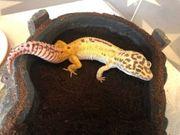 Temper Albino Leopardgecko