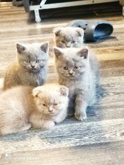 BKH Blau Kitten vom 25