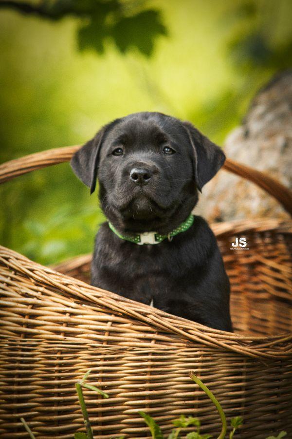 Prächtiger und ruhiger Labrador Rüde Nico sucht ein neues Zuhause