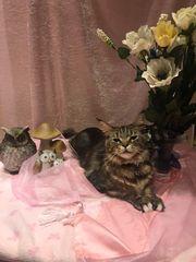 Wurfankündigung reinrassige Maine Coon Katzen