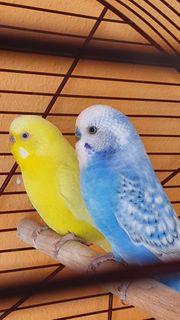 Wellensittiche junge paar