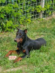 Dobermann junghund