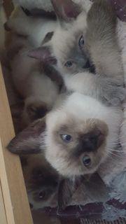Reinrassige Siam Katzenbabys