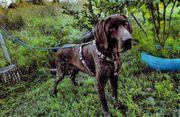 Amadeo Jagdhund blind sucht ein