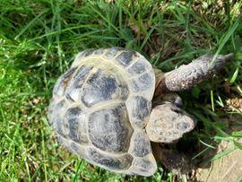 Reptilien, Terraristik - Russische Vierzehen Landschildkröte