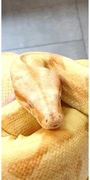Boa Constrictor Sunglow 1 0