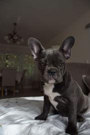 Französische Bulldogge blau 0152 51689334