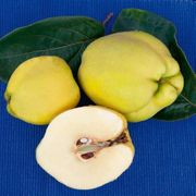 Quitten von unserm schönen Apfelquittenbaum