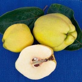 Quitten von unserm schönen Apfelquittenbaum Natur belassen