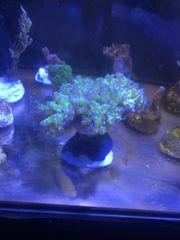 Koralle Euphyllia