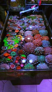 Korallen Nachzuchten