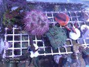acropora tricolor Meerwasser Korallen
