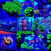 Meerwasseraquaristik Meerwasser Ableger Euphyllia Zoa