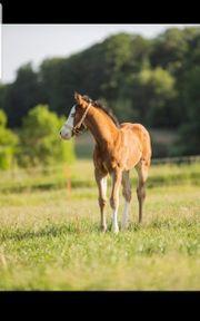 Reining-Nachwuchs Paint-Horse Quarter Horse Hengstfohlen