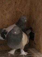 Takla Spiel Tauben