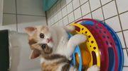 Bkh Blh kitten tragen Odd