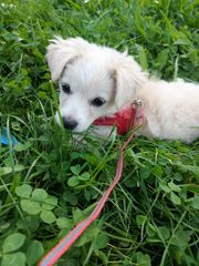 Mini Pomeranian Chihuahua Mix sucht