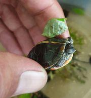 Bunte Rückenstreifen Zierschildkröten Babys Nachzuchten