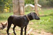 Schnauzer Labrador Mischlingswelpe Bon sucht