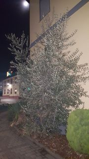 Olivenbaum fürs Freie mit Fruchtbildung