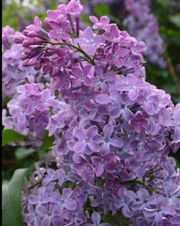 Tausche Fliederpflanzen Strauch gegen Blumen