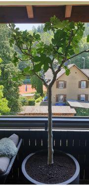 Feigenbaum dicker massiver stamm