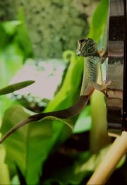 1 0 Lygodactylus williamsi