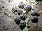 Breitrandschildkröten Testudo marginata 2019