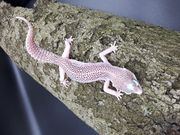 0 1 2021 Leopardgecko Weibchen