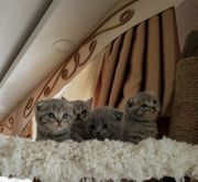Katzenbabys Scottish Fold Straight