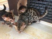 Bengal Kitten mit Stammbaum