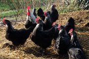 Marans Hühner zu Verkaufen