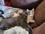 Maine Coon Perser Mix