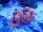 Einfache Korallenableger Meerwasser Scheiben Zoa
